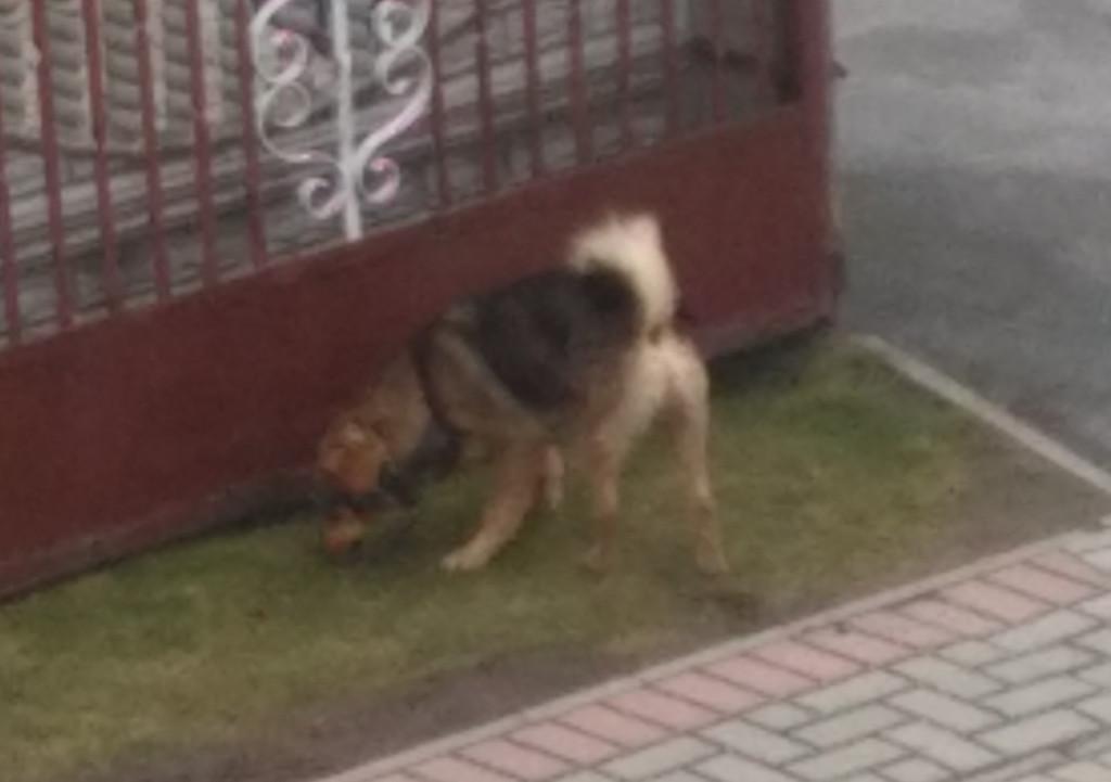 Pies Rozkochów.jpeg